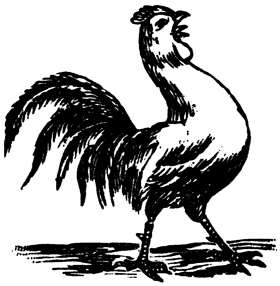 Rooster Crowing Drawing